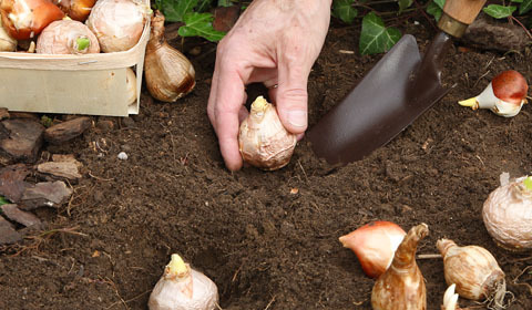 Bulb Planting Guide